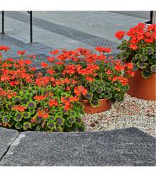 Muškát páskatý Nekita F1 Scarlet - Pelargonium zonale - prodej semen - 4 ks