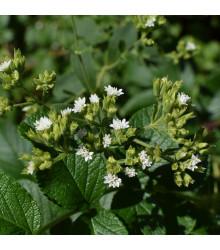 BIO stévie sladká - Stevia rebaudiana - prodej bio semen - 12 ks