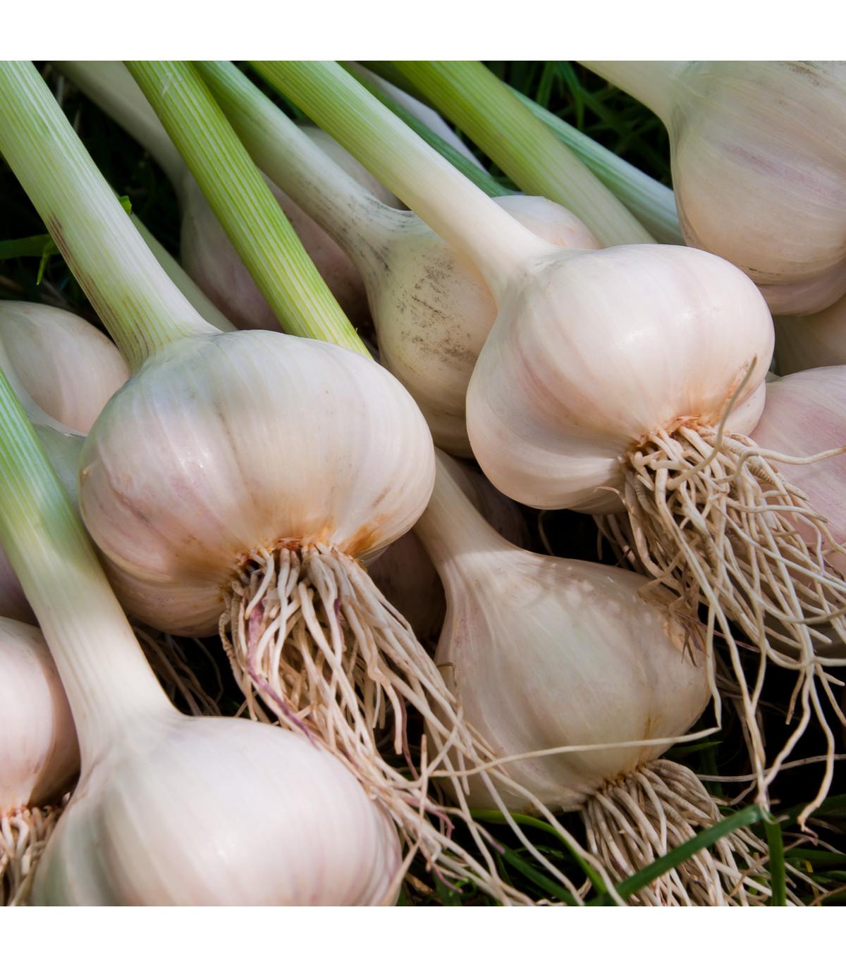 Sadbový česnek Dukát - Allium sativum - paličák - prodej cibulí česneku - 4 ks