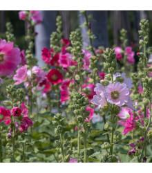 Topolovka plnokvětá Chaters mix barev - Alcea rosea - semena - 12 ks