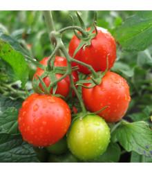 Rajče Rentita - Solanum lycopersicum - prodej semen - 15 ks