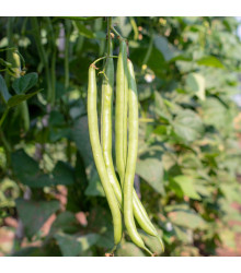 Fazol keříčkový Dublette - Phasoleus vulgaris - prodej semen - 20 ks