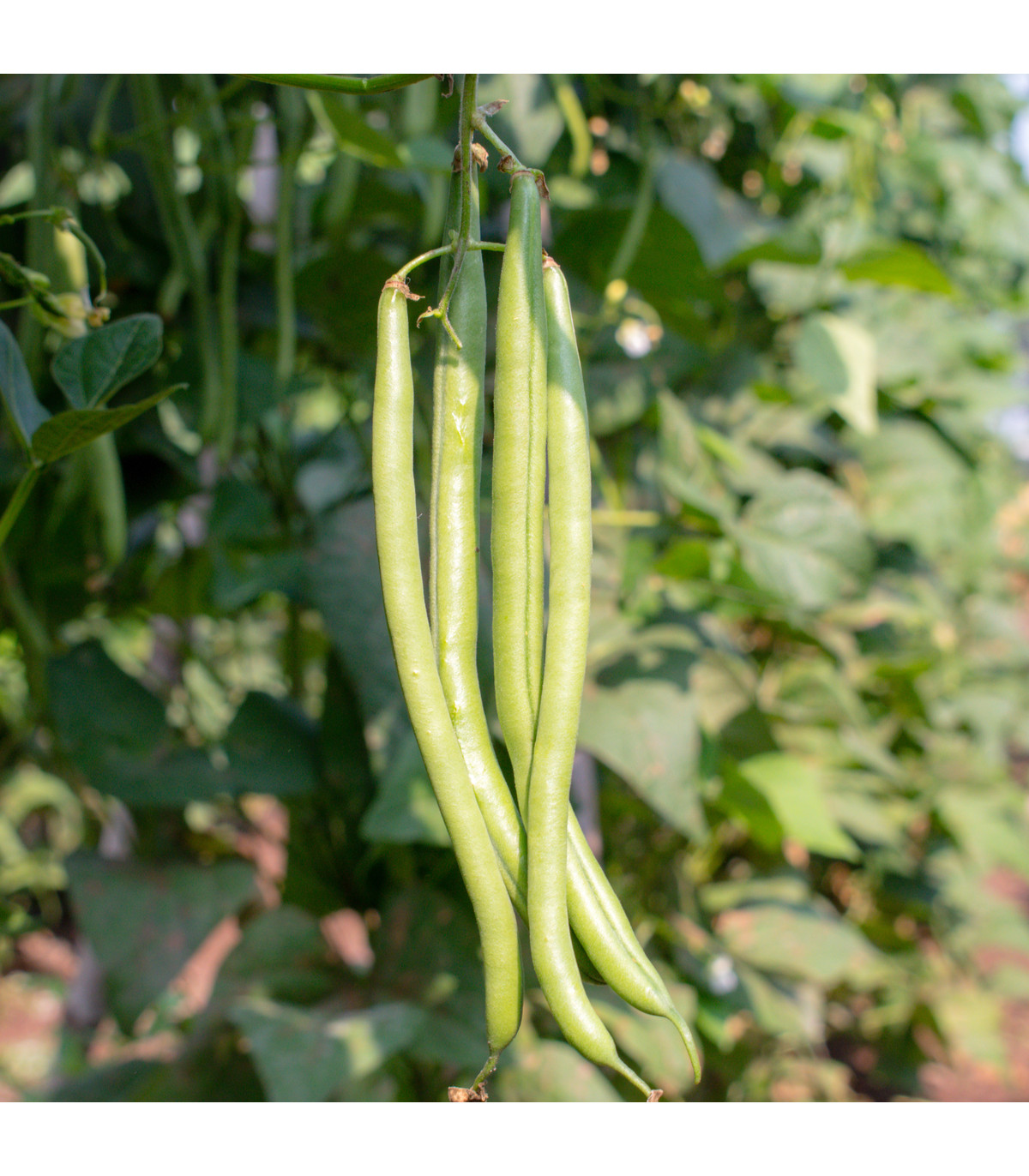Semínka fazolů - Fazol keříčkový Dublette - prodej semen - 8 ks
