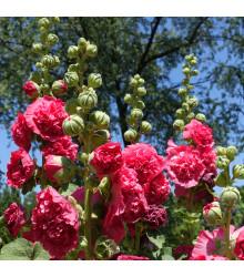 Topolovka Letní karneval mix barev - Alcea rosea carnival mix - prodej semen topolovky - 40 ks