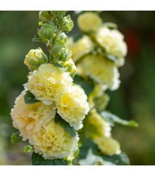 Topolovka žlutá Chaters - Alcea rosea - prodej semen topolovky - 12 ks