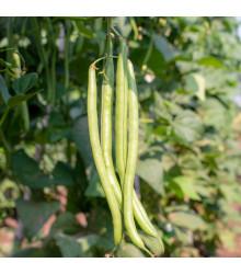 More about Fazol tyčkový Neckargold - Phaseolus vulgaris - prodej semen - 15 Ks