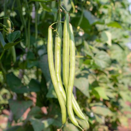 Fazol tyčkový Neckargold - Phaseolus vulgaris - prodej semen - 15 Ks
