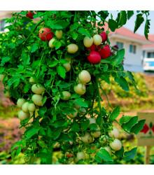 převislá keříčková Cherry rajčátka Tumbler- Lycopersicon esculentum - prodej semen - 6 Ks