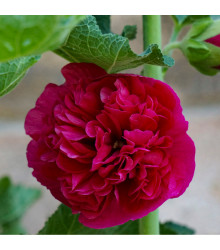 Topolovka Chaters Scarlet - Alcea rosea - prodej semen topolovky - 8 ks