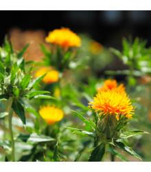 BIO Světlice barvířská tmavě oranžová - Carthamus tinctorius - prodej bio semen světlice - 20 ks