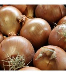 BIO cibule šalotka Red Sun - Allium cepa - prodej bio cibulek - 12 ks