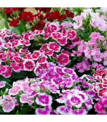 Hvozdík bradatý plnokvětý směs barev - Dianthus barbatus - prodej semen - 250 ks