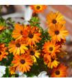 Paprskovka Sunset Shades - Osteospermum - prodej semen paprskovky - 6 ks