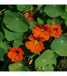 More about Lichořeřišnice větší Tom Pouce - Tropaeolum majus - prodej semen lichořeřišnice - 15 ks
