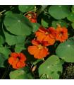 Lichořeřišnice větší Tom Pouce - Tropaeolum majus - prodej semen lichořeřišnice - 15 ks