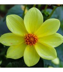 Jiřinka Topmix žlutá - Dahlia - prodej cibulovin - 1 ks