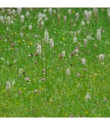 BIO jitrocel Minutina - Plantago coronopus - prodej bio semen jitrocele - 0,2 g