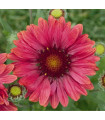 Kokarda Arizona Red Shades - Gaillardia aristata - prodej semen kokardy - 10 ks