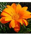 Gazánie Kiss Orange F1 - Gazania rigens - prodej semen gazánie - 12 ks