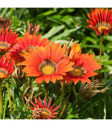 More about Gazánie Frosty Kiss Red F1 - Gazania rigens - prodej semen gazánie - 12 ks
