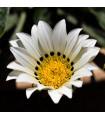 Gazánie Kiss White F1 - Gazania rigens - prodej semen gazánie - 12 ks
