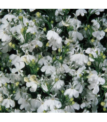Lobelka drobná Bílý palác - Lobelia erinus - prodej semen lobelky - 0,1 g