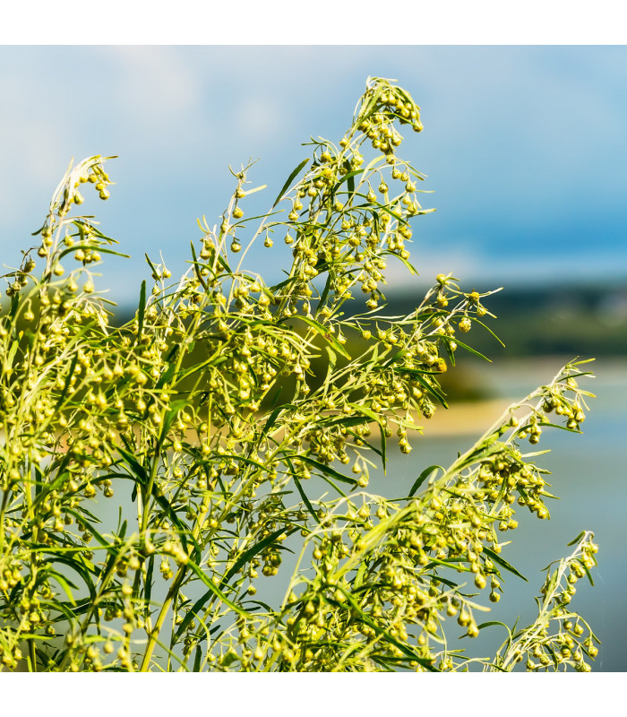 BIO pelyněk pravý - Artemisia Absinthium - prodej bio semen pelyňku - 0,02 g