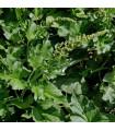 BIO merlík všedobr - Chenopodium henricus - bio prodej semen merlíku - 150 ks