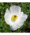 BIO pleskanka - Argemone platyceras - prodej bio semen pleskanky - 50 ks