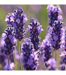 More about Levandule francouzská Bandera Purple - Lavandula stoechas - prodej semen levandule - 20 ks