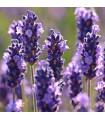 Levandule francouzská Bandera Purple - Lavandula stoechas - prodej semen levandule - 20 ks