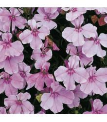 More about Lobelka drobná Riviera Lilac - Lobelia erinus - prodej semen lobelky - 0,1 g