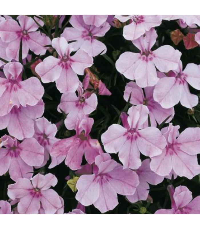 Lobelka drobná Riviera Lilac - Lobelia erinus - prodej semen lobelky - 0,1 g