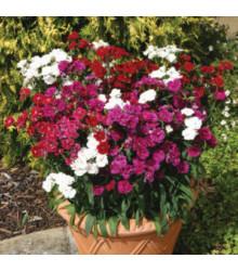 More about Hvozdík Dynasty mix F1 - Dianthus barbatus - prodej semen hvozdíku - 16 ks