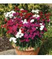 Hvozdík Dynasty mix F1 - Dianthus barbatus - prodej semen hvozdíku - 16 ks