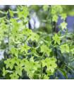 Tabák okrasný Perfume Lime F1 - Nicotiana sanderae - prodej semen tabáku - 50 ks