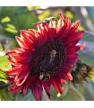 Slunečnice Moulin Rouge - Helianthus annuus - prodej semen slunečnice - 8 ks