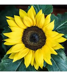 More about Slunečnice Sunrich Lemon - Helianthus annuus - prodej semen slunečnice - 8 ks
