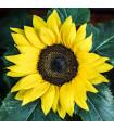 Slunečnice Sunrich Lemon - Helianthus annuus - prodej semen slunečnice - 8 ks