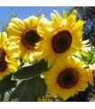 Slunečnice Big Smile - Helianthus annuus - prodej semen slunečnice - 8 ks