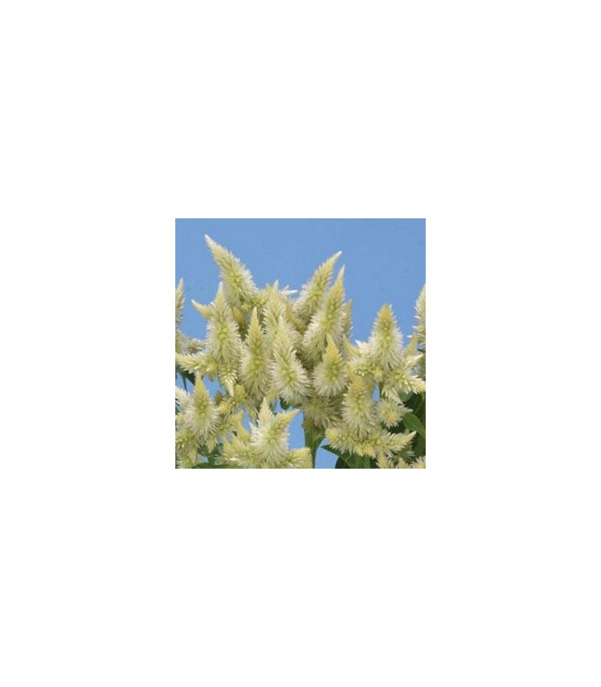 Nevadlec klasnatý bílý - Celosia spicata - prodej semen - 10ks