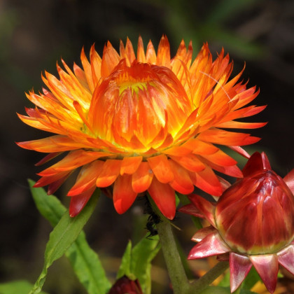 Smil listenatý oranžový- Helichrysum bracteatum - prodej semen - 500ks