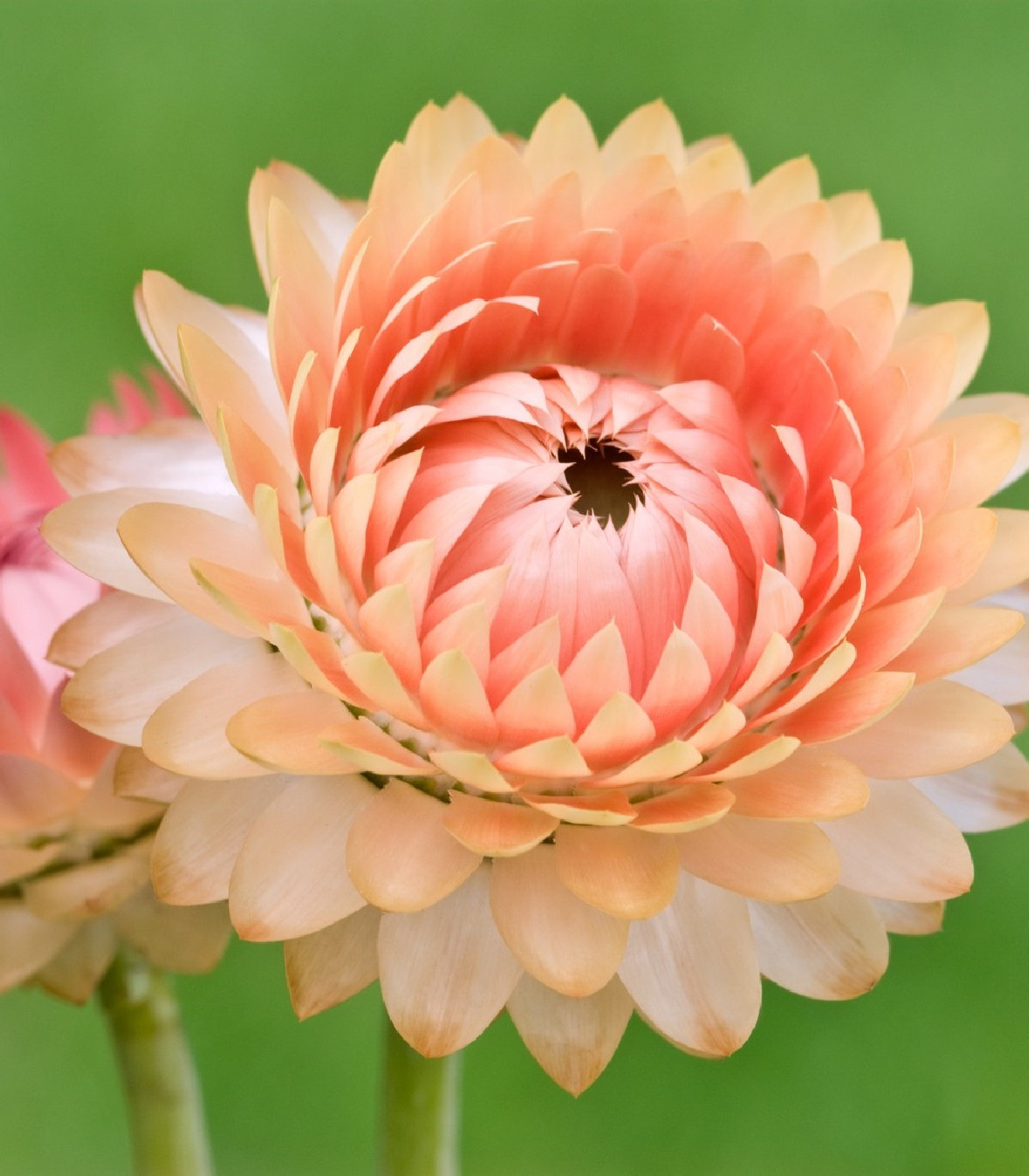 Smil listenatý Silvery Rose - Helichrysum bracteatum - prodej semen - 500ks
