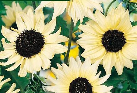 Semínka slunečnicí - Helianthus debilis - Slunečnice slabá směs barev - prodej semen - 7 ks