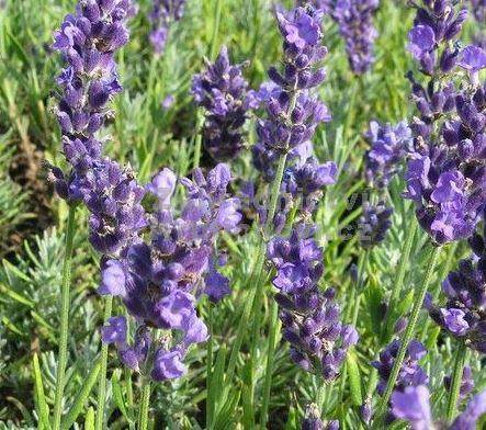 Semínka levandule - Lavandula angustifolia - Levandule lékařská Lavance Speciál - prodej semen - 15 ks