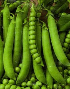 Semínka hrachu - Hrách setý dřeňový Senator - prodej semen - 10 g